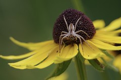 Wolf Spider with hoverfly it just captured (Colleen Prieto) Tags: nature spider