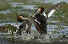 Great Crested Grebes (Ann and Chris) Tags: grebes fighting water wildlife lake nature action fight