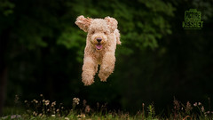 Picture of the Day (Keshet Kennels & Rescue) Tags: adoption dog dogs canine ottawa ontario canada keshet large breed animal animals kennel rescue pet pets field nature photography goldendoodle air time airtime jump leap meadow dark background blonde black grass clover