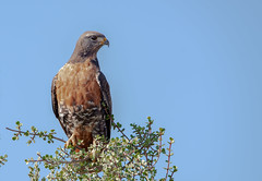 Jackal Buzzard (J-F No) Tags: jackal buzzard oiseaux bird birds aves animals fauna nature wildlife addo national park south africa prey sony a7rii tamron 150600mm safari