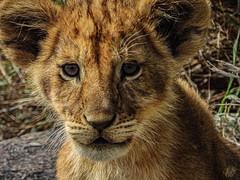 GOOD MORNING SIMBA! (eliewolfphotography) Tags: simba lion lions africa africananimals tanzania bigcats conservation safari lioncubs cubs wildlife wildlifephotographer