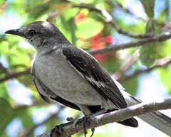 Mockingbird (3) (ACEZandEIGHTZ) Tags: mimuspolyglottos nikon d3200 grey gray backyard birdwatcher mockingbird avian feathers bokeh tree macro closeup bird statebird florida