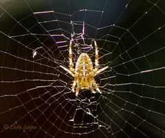 Waiting for Lunch DSC_1385 (Chris Scopes) Tags: nature spider web 2019