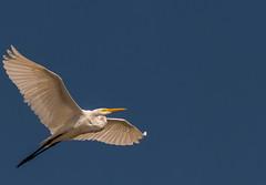 Heron Nation 7/2019 4 (nwalthall) Tags: herons sanantonio