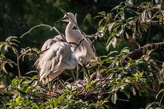 Heron Nation 7/2019 3 (nwalthall) Tags: herons sanantonio