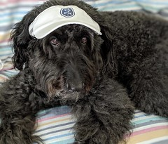 """""""You can't fool me; this is NOT the beach!"""" by Benni (Bennilover) Tags: dog sun visor labradoodle benni bennigirl dogs coyotes pack scary nobeach beachtowel sunvisor"""