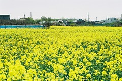 The yellow field (しまむー) Tags: minolta α9000 af 50mm f17 kodak gold 200 横浜 菜の花 蕪島神社 列車 train yokohama kabushima