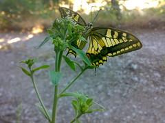 Fabulous butterfly (angelacappella) Tags: farfalla butterfly insetti