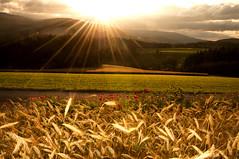 Morgenstund... (Mariandl48) Tags: morgenstimmung getreide blumen mohnblumen wiese feld acker wald sonnenaufgang sommersgut wenigzell steiermark austria