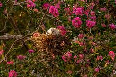 Heron Nation 7/2019 2 (nwalthall) Tags: herons sanantonio