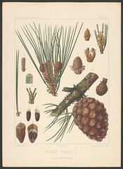 Anglų lietuvių žodynas. Žodis stone-pine reiškia n bot. pinija, italinė pušis lietuviškai.