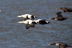 Elders in flight (Ian Press Photography) Tags: morecambe lancs lancashire seaside sea side coast elders flight bird duck ducks elder