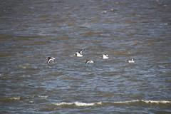 Oystercatchers in flight (Ian Press Photography) Tags: morecambe lancs lancashire seaside sea side coast flight bird duck ducks oystercatchers oystercatcher
