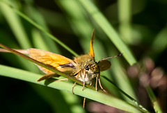 Large Skipper (Chalto!) Tags: newforest parkhillinclosure insect butterfly hampshire skipper largeskipper