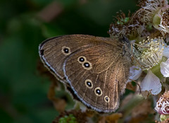 Ringlet (Chalto!) Tags: newforest parkhillinclosure insect butterfly hampshire ringlet