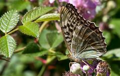 Valezina (Chalto!) Tags: newforest parkhillinclosure insect butterfly hampshire silverwashedfritillary valezina