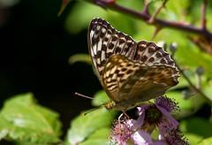Silver-washed Fritillary - female (Valezina form) (Chalto!) Tags: valezina butterfly newforest parkhillinclosure hampshire insect silverwashedfritillary