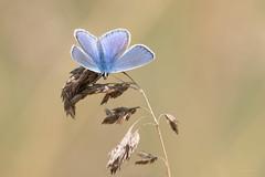 L'azuré commun (Serge Lemaire) Tags: campagne chemin insecte lépidoptère nature papillon pelousecalcaire wildlife été
