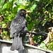 Blackbird DSCN2181
