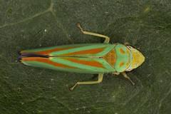 Graphocephala [picta or  fennahi]   Leafhopper (theantarcticsun) Tags: leafhopper cicadellidae hemiptera macro insect bug
