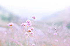 Soft flowers (Sofia Ortun) Tags: flower flowers soft cute nice pink delicate blur landscape nature flor flores fleur natural outdoors flora andorra summer verano canon 6d 50mm pastel foliage beauty beautiful