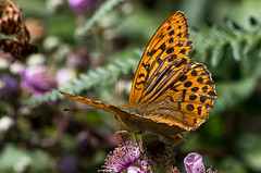 Silver-washed Fritillary - male (Chalto!) Tags: newforest parkhillinclosure insect butterfly hampshire silverwashedfritillary