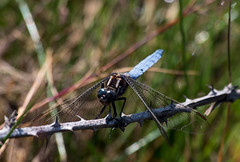 Keeled Skimmer - male (Chalto!) Tags: keeledskimmer skimmer dragonfly insect newforest beaulieuroad shatterford hampshire