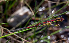Small Red Damselfly - tandem pair (Chalto!) Tags: insect pair damselyfly smallreddamselfly newforest beaulieuroad shatterford hampshire