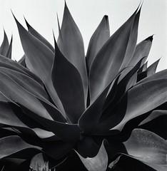 Shades of aloe (Film3688) Tags: analog bw film mediumformat 6x6 80mm zeiss hasselblad500cm hasselblad
