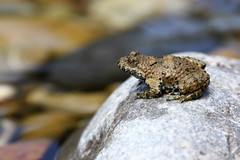 yellow-bellied toad 17-07-2019 015 (swissnature3) Tags: nature animals wildlife toad switzerland macro riverside