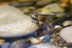 yellow-bellied toad 17-07-2019 011 (swissnature3) Tags: nature animals wildlife toad switzerland macro riverside