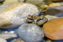 yellow-bellied toad 17-07-2019 008 (swissnature3) Tags: nature animals wildlife toad switzerland macro riverside