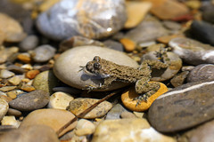 yellow-bellied toad 17-07-2019 005 (swissnature3) Tags: nature animals wildlife toad switzerland macro riverside