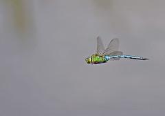 Emperor Dragonfly - Michael Bird (Just call me Doc) Tags: anaximperator emperor dragonfly dragonflies odonata reservoirs ponds lakes peatbogs ramsley bigmoor derbyshire michaelbird canon macroinflightshotdif g2 6d tamron 150600mm