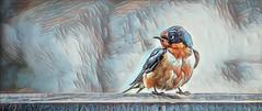 Barn Swallow (gks18) Tags: bird nature canon lightroom nik goart barnswallow