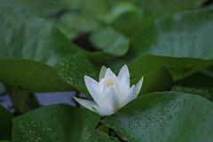 Rainy Day in July (Zor.annie) Tags: ninfea orto botanico italy italian nature bologna italia walk park lake pond stagno natura