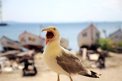 Insert Food (JaaniicB) Tags: canon eos 77d sigma 1750mm f28 seagull bird yawn yell demand bulgaria pomorie open mouth boats bokeh summer vacation beer