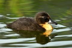 DSC_8146 (Joachim S. Müller) Tags: küken duckling stockente ente anasplatyrhynchos anas duck vogel bird tier animal sit fraunhofer fraunhofersit darmstadt hessen deutschland germany