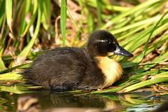 DSC_8134 (Joachim S. Müller) Tags: küken duckling stockente ente anasplatyrhynchos anas duck vogel bird tier animal sit fraunhofer fraunhofersit darmstadt hessen deutschland germany
