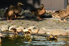 DSC_8121 (Joachim S. Müller) Tags: küken duckling stockente ente anasplatyrhynchos anas duck vogel bird tier animal sit fraunhofer fraunhofersit darmstadt hessen deutschland germany