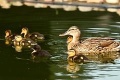 DSC_8116 (Joachim S. Müller) Tags: küken duckling stockente ente anasplatyrhynchos anas duck vogel bird tier animal sit fraunhofer fraunhofersit darmstadt hessen deutschland germany