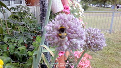 Close up of bee on Allium flower head 17th July 2019 001 (D@viD_2.011) Tags: close up bee allium flower head 17th july 2019