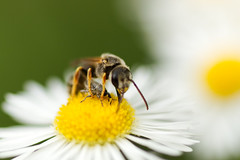 Bee and Weevil (brandon_gerringer) Tags: bee weevil insect insectphotography macro macrophotography fleabane flower flowerphotography nature naturephotography yellow green canon tamron wildlife wildlifephotography