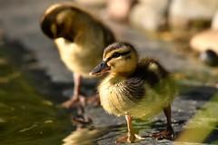 DSC_8074 (Joachim S. Müller) Tags: küken duckling stockente ente anasplatyrhynchos anas duck vogel bird tier animal sit fraunhofer fraunhofersit darmstadt hessen deutschland germany