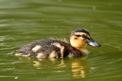 DSC_8069 (Joachim S. Müller) Tags: küken duckling stockente ente anasplatyrhynchos anas duck vogel bird tier animal sit fraunhofer fraunhofersit darmstadt hessen deutschland germany