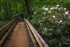 Blooming Bridge (Reid Northrup) Tags: rrs nature blueridgemountains blueridgeparkway bridge flowers forest landscape nikon northcarolina petals rain rhododendrons rocks scenic trees rosebayrhododendrons reidnorthrup