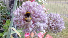 Close up of bee on Allium flower head 17th July 2019 001 (Cropped) (D@viD_2.011) Tags: close up bee allium flower head 17th july 2019