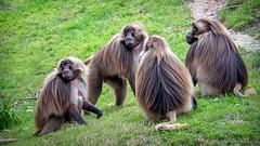 Boys Club Meeting (helenehoffman) Tags: africa africarocks theropithecusgelada conservationstatusleastconcern semienmountains mammal gelada grass oldworldmonkey monkey sandiegozoo ethiopianhighlands animal