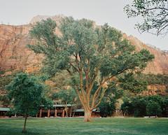 A beautiful cottonwood tree outside of Zion Lodge (Thomasaurus) Tags: mamiya7ii rangefinder film analog utah nationalpark 6x7 kodakportra porta400 120 cottonwood tree zion zionlodge zionnationalpark mediumformat mf 67 120film
