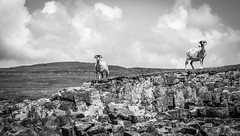 Cow Green . (wayman2011) Tags: canon5d colinhart lightroom5 wayman2011 bwlandscapes mono rural sheep pennines dales teesdale cowgreen countydurham uk